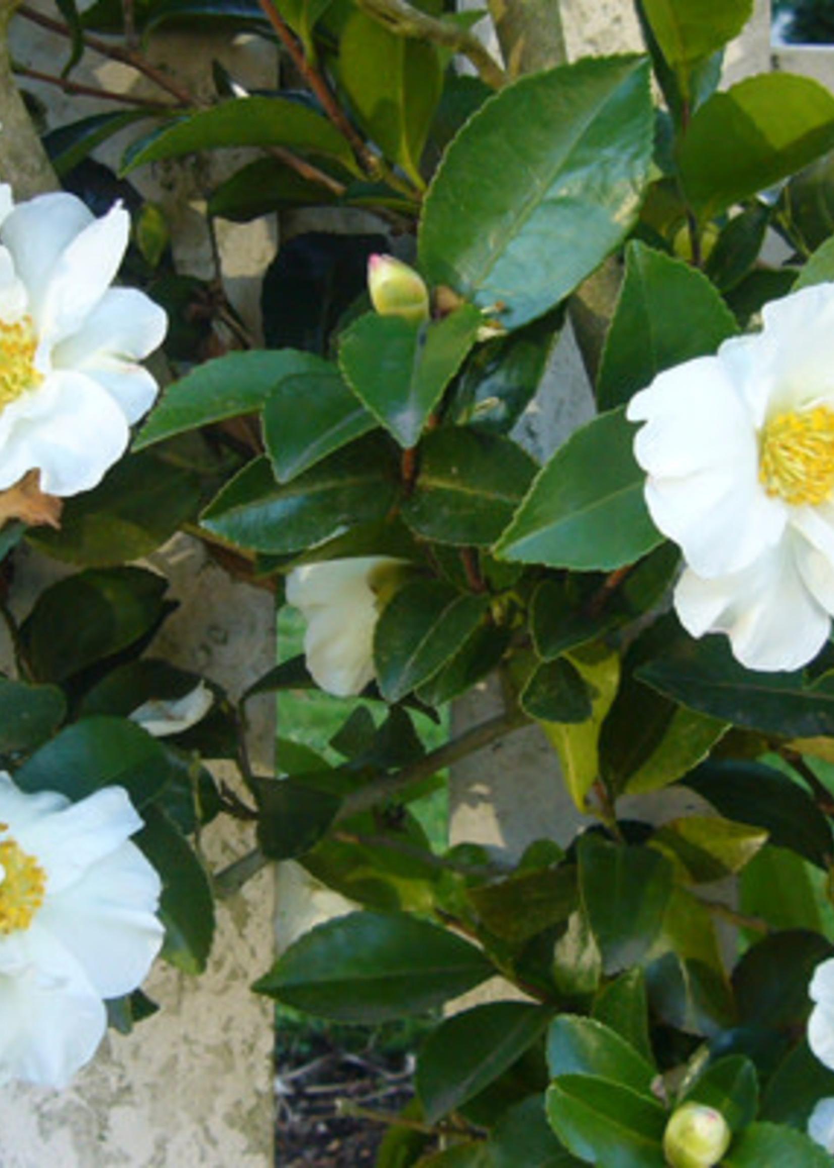 Camellia, Sasanqua, Setsugekka 3G semi-dbl white