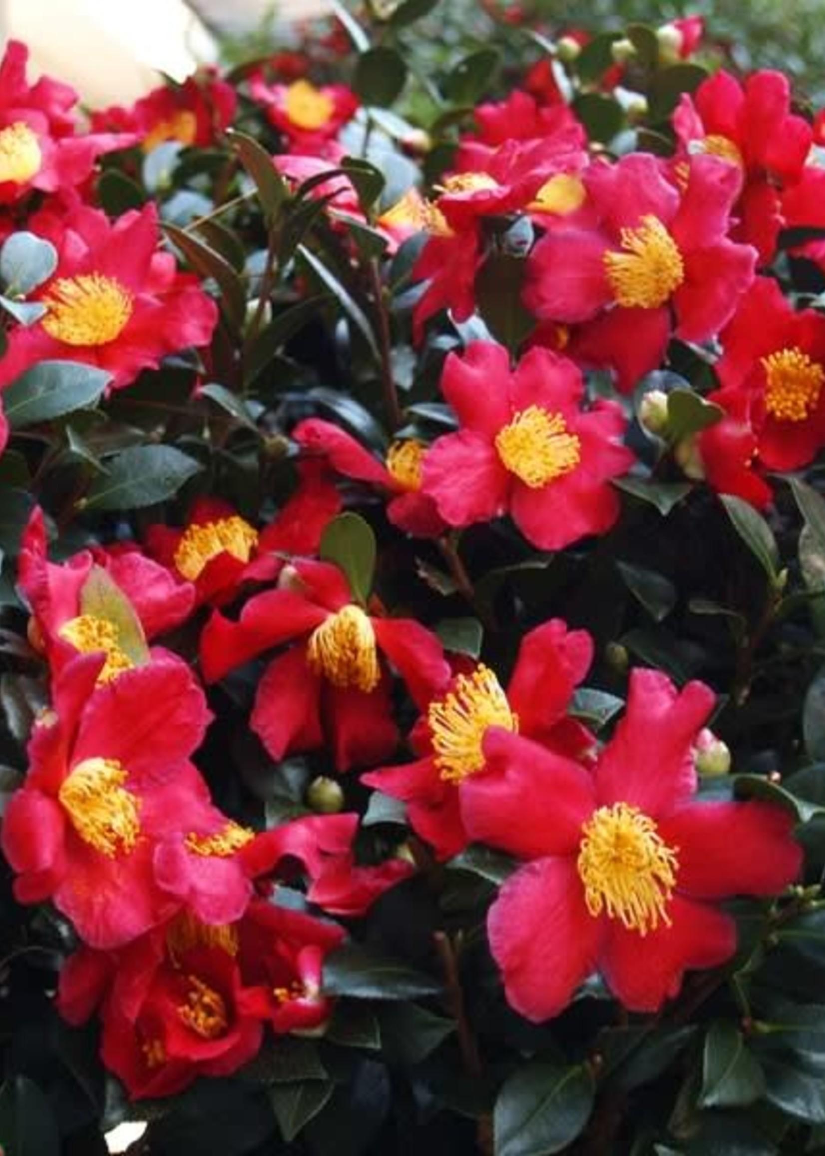 Camellia, Sasanqua, Yuletide 3G sgl red