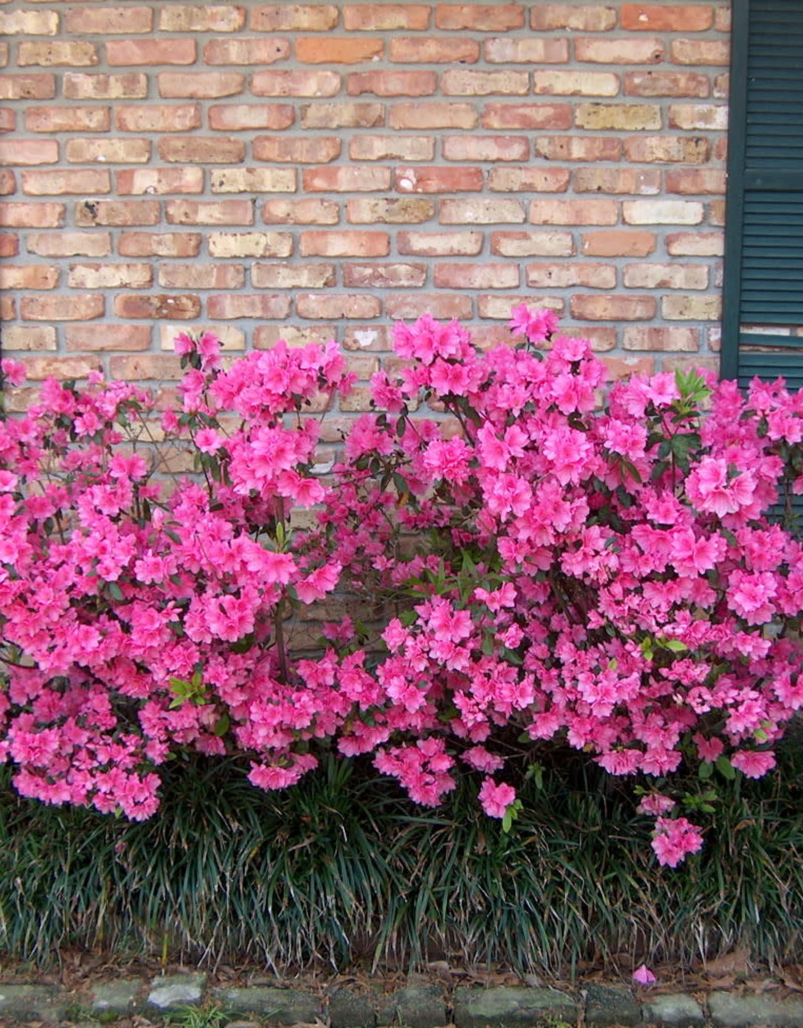 Azalea, Judge Solomon, (pink Formosa) 3G