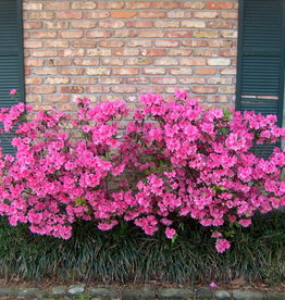Azalea, Judge Solomon, (pink Formosa) 3G