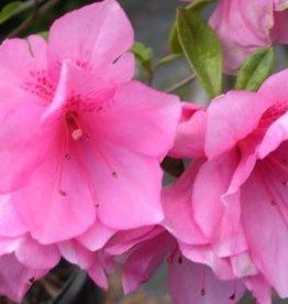 Azalea, Ruffles, Pink 3G