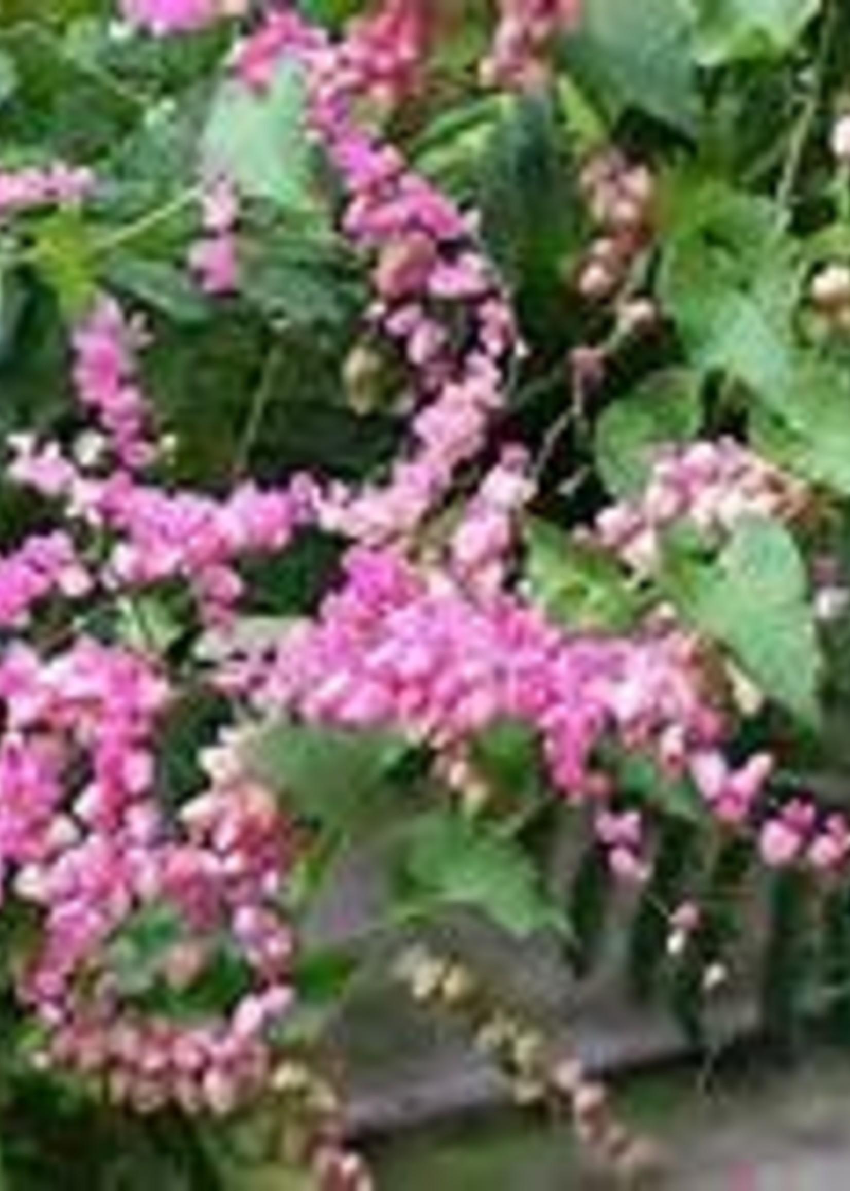 Coral Vine, Pink 1G