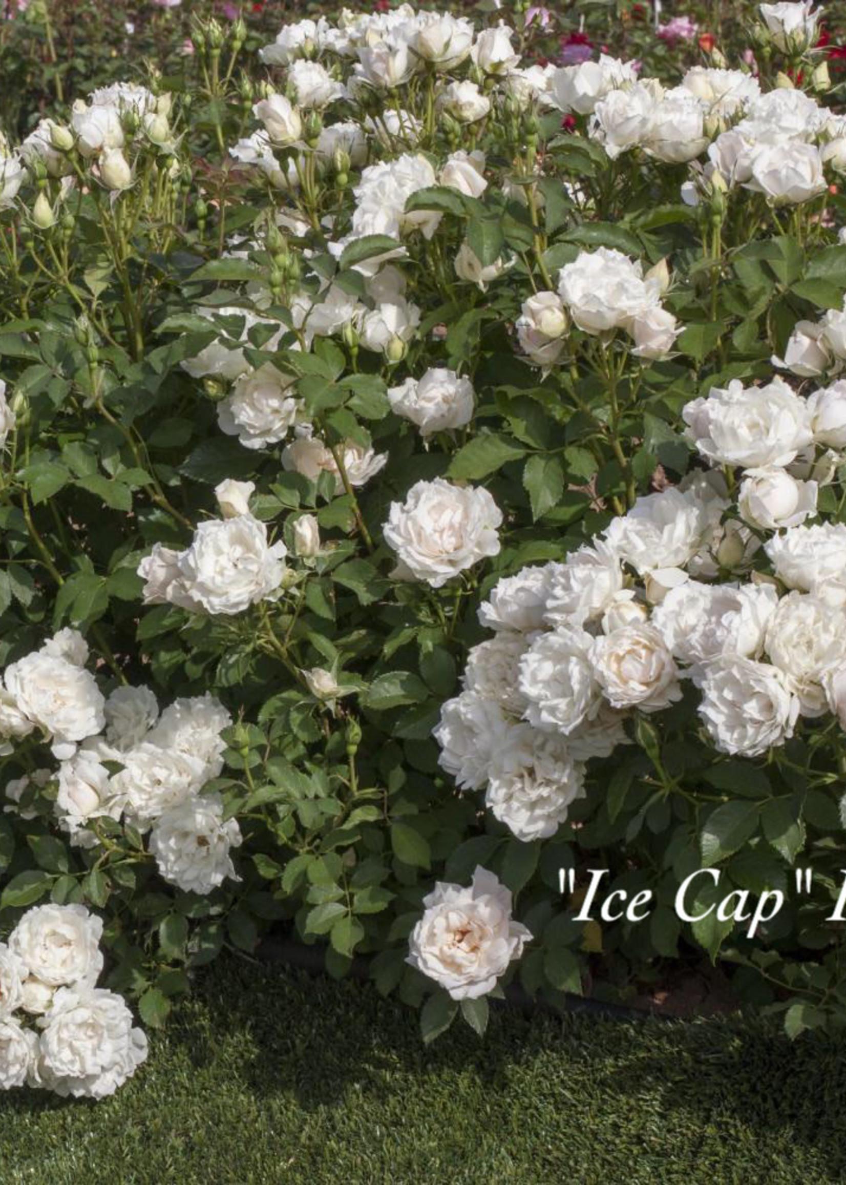 ROSE, Icecap (white) 3G
