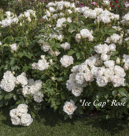 ROSE, Icecap (white) 3G