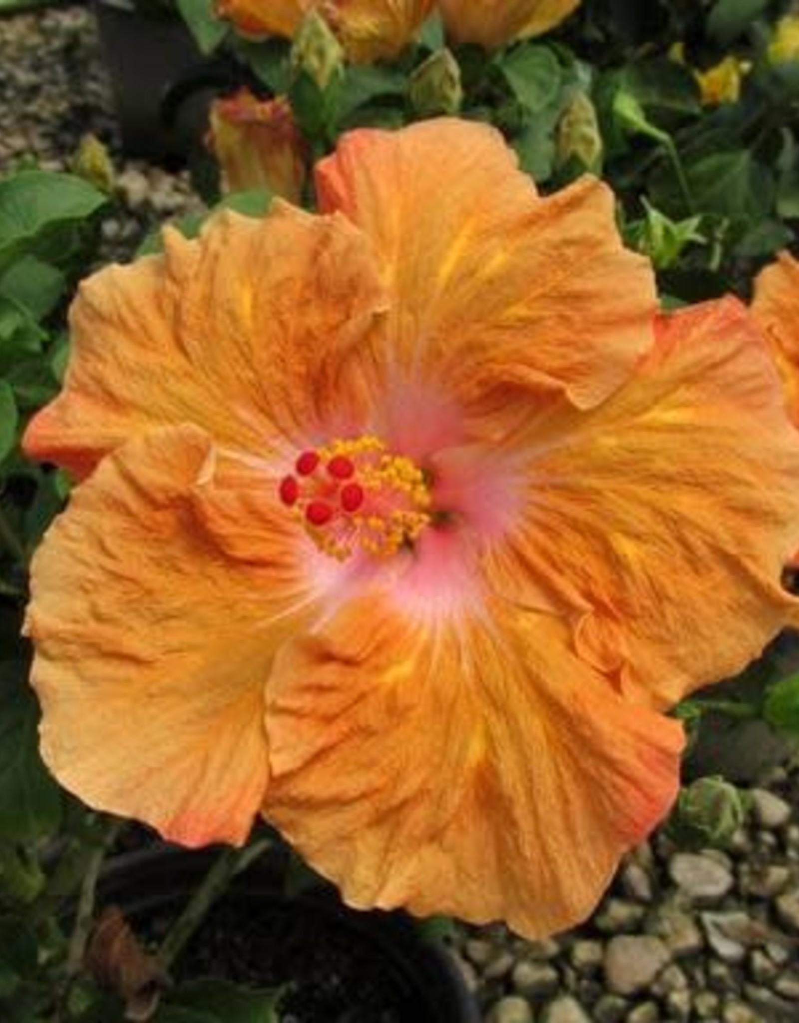 Hibiscus, Exotic, Orange Seduction 2G
