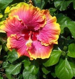 Hibiscus, Exotic, Pink Lemonade 2G