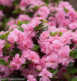 Azalea, Bloom A Thon Double Pink 3G