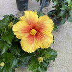 HIBISCUS (OUT OF STOCK)