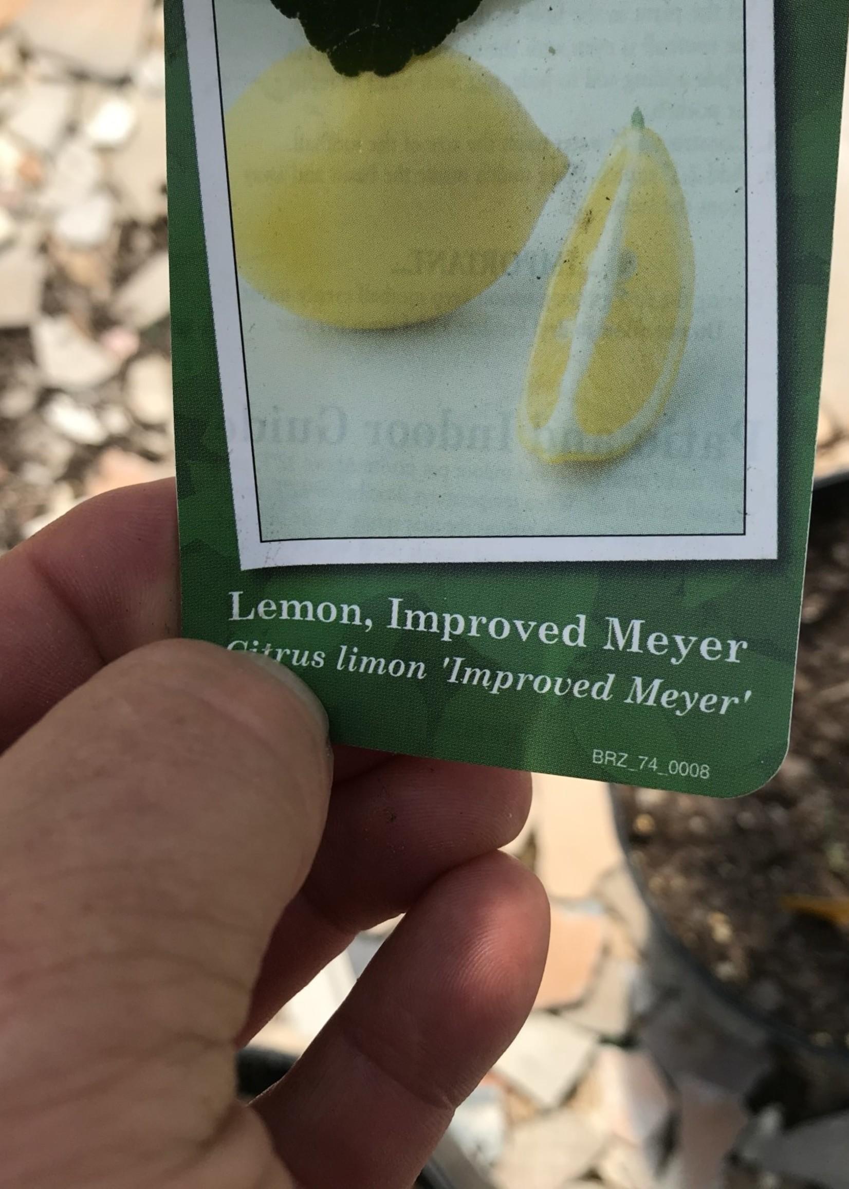 FRUIT TREE, CITRUS, IMP. 'MEYER LEMON' 3G