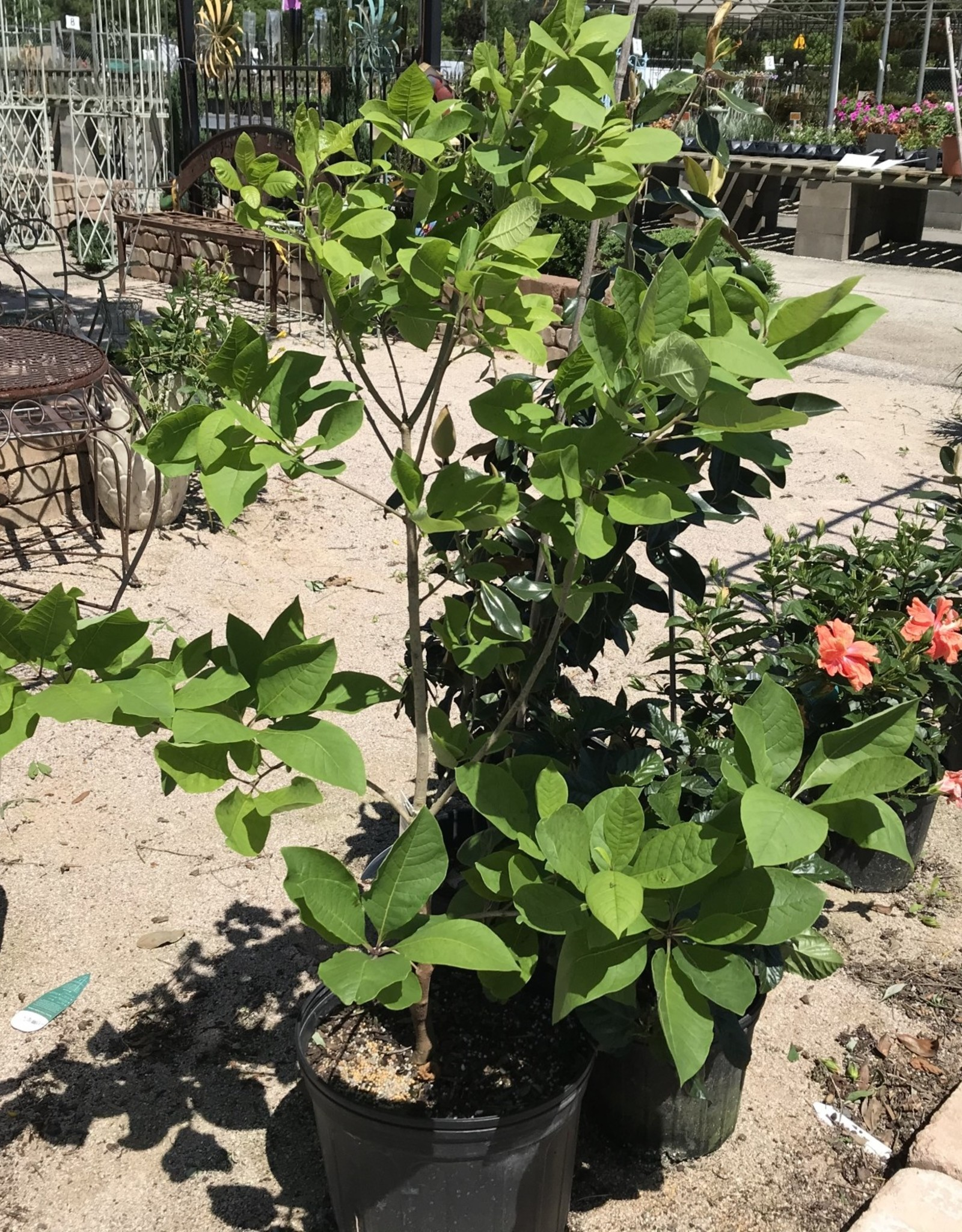 FRINGE TREE NATIVE WHITE 7G