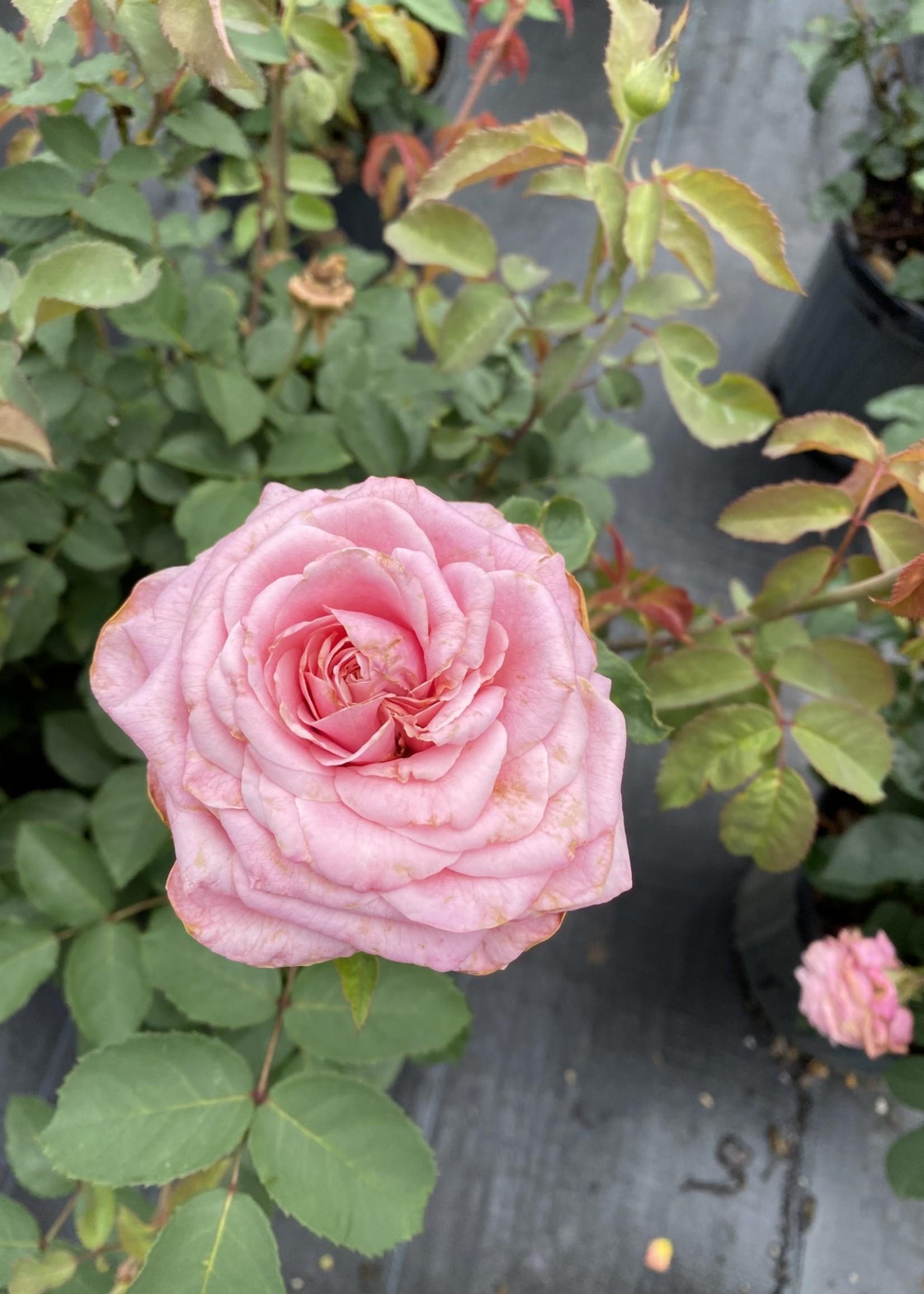 ROSE, 'BELINDA'S DREAM' 3G (pink)