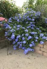 PLUMBAGO, 'IMPERIAL BLUE' 1G