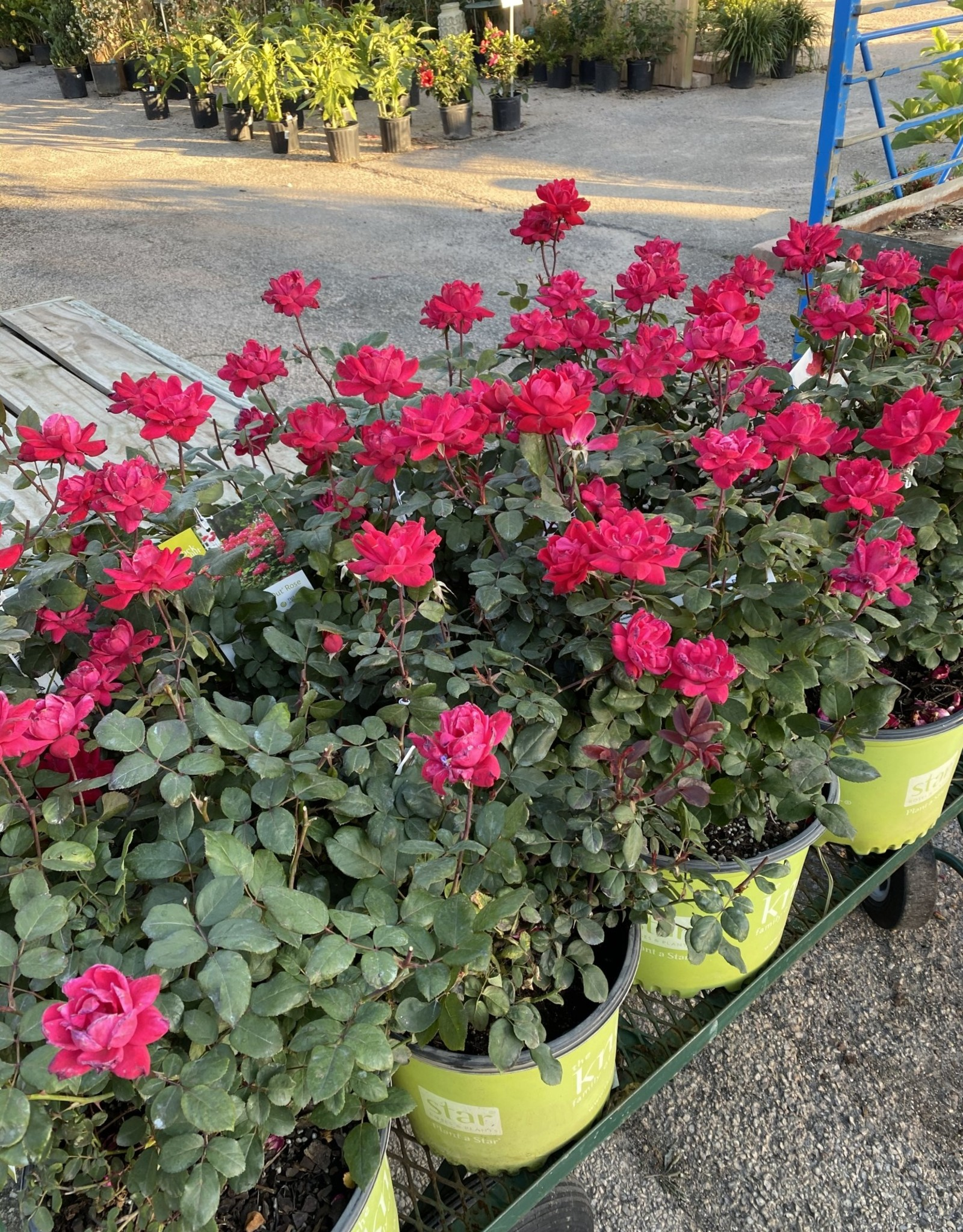 ROSE, 'KNOCK OUT' DOUBLE RED 3G