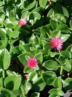 "Aptenia, Heart Leaf Ice Plant 4"" pot NOT SOLD ONLINE"