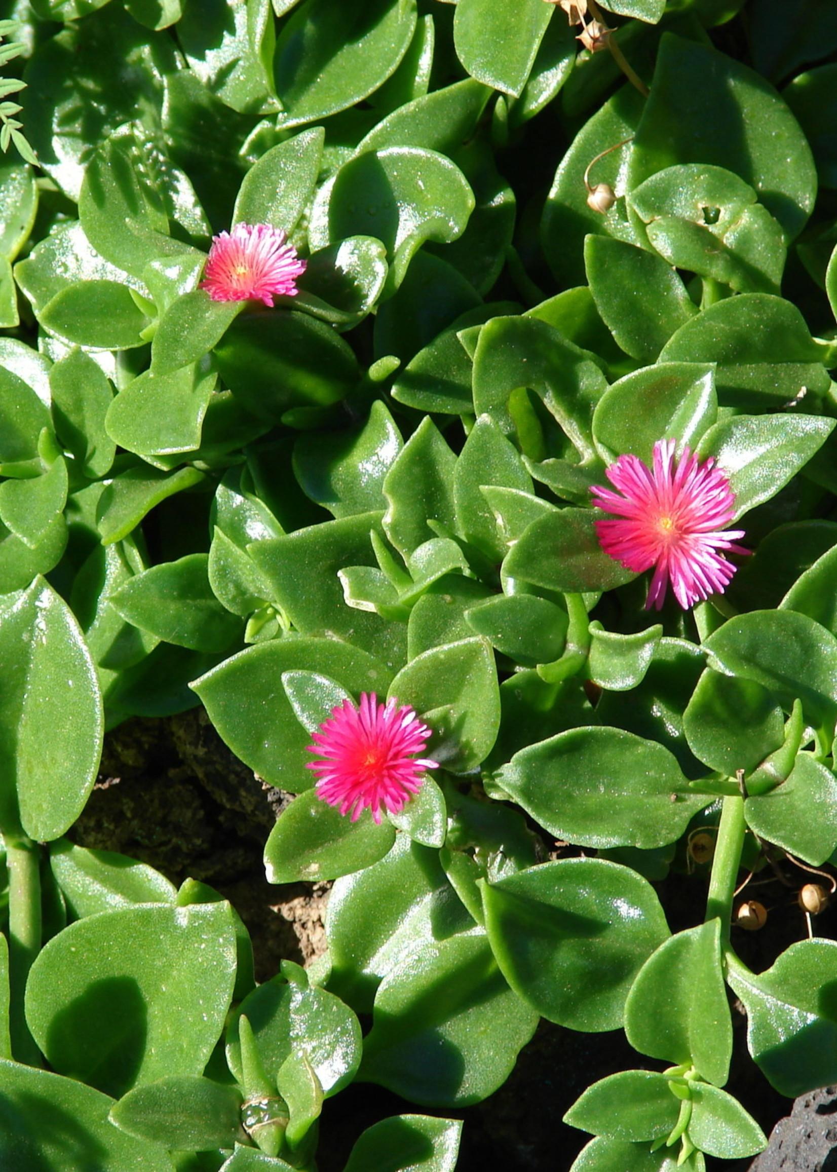 "Aptenia, Heart Leaf Ice Plant 4"" pot"