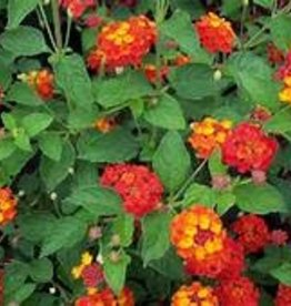 "LANTANA 4"" NOT SOLD ONLINE"