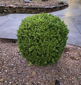 BOXWOOD, JAPANESE 3G
