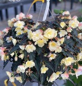 "Begonia HB, Tweetie Pie Yellow 10"" $19.95"