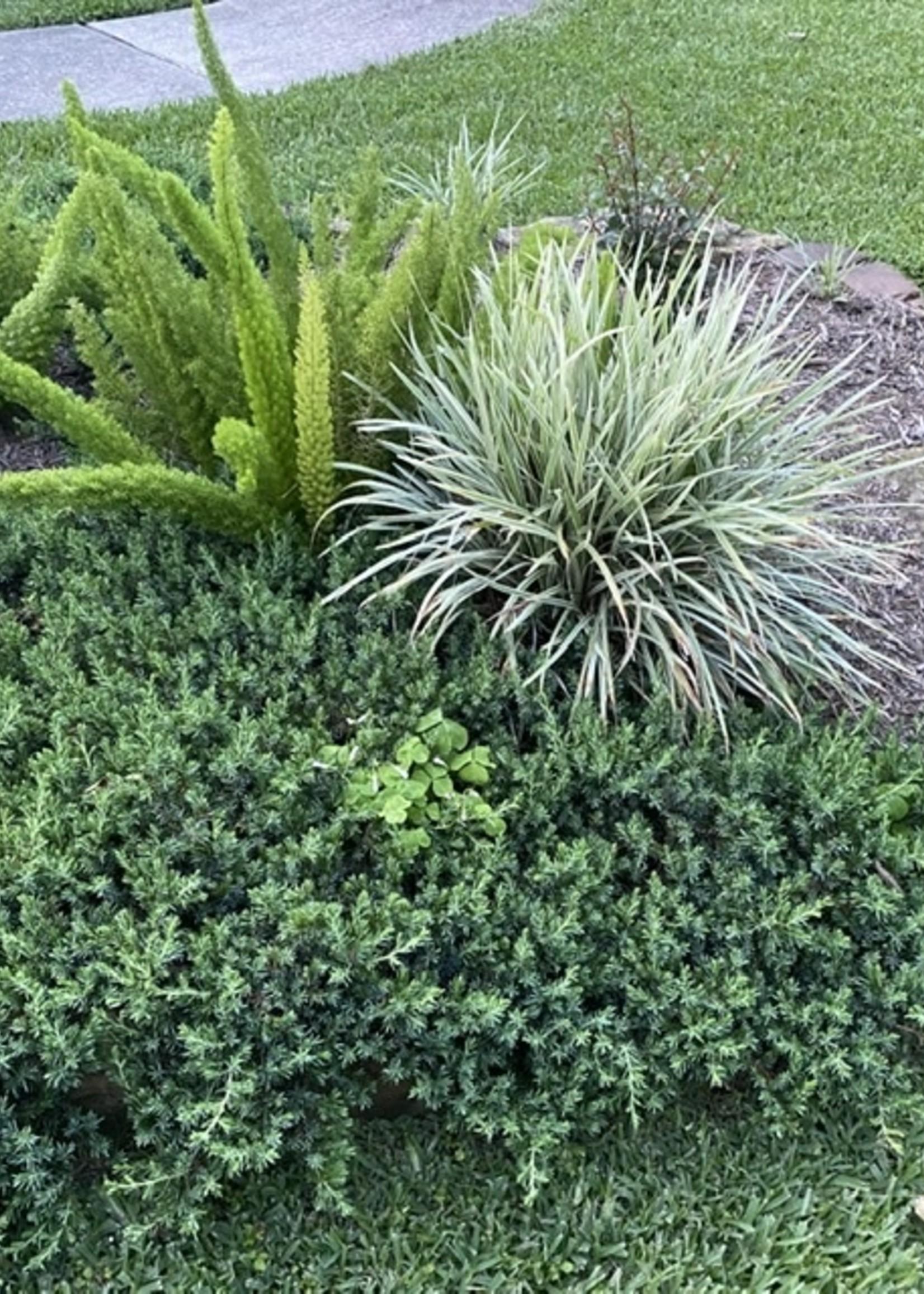 LIRIOPE AZTEC GRASS 1G