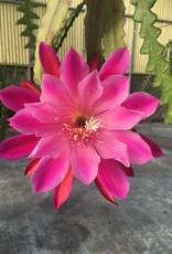 "Night Blooming Cereus PINK 4.5"" round pot"