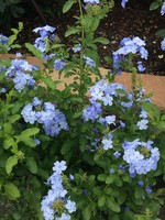"""PLUMBAGO, BLUE or WHITE 4"""" NOT SOLD ONLINE"""