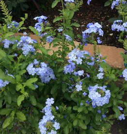 "PLUMBAGO, BLUE or WHITE 4"" NOT SOLD ONLINE"