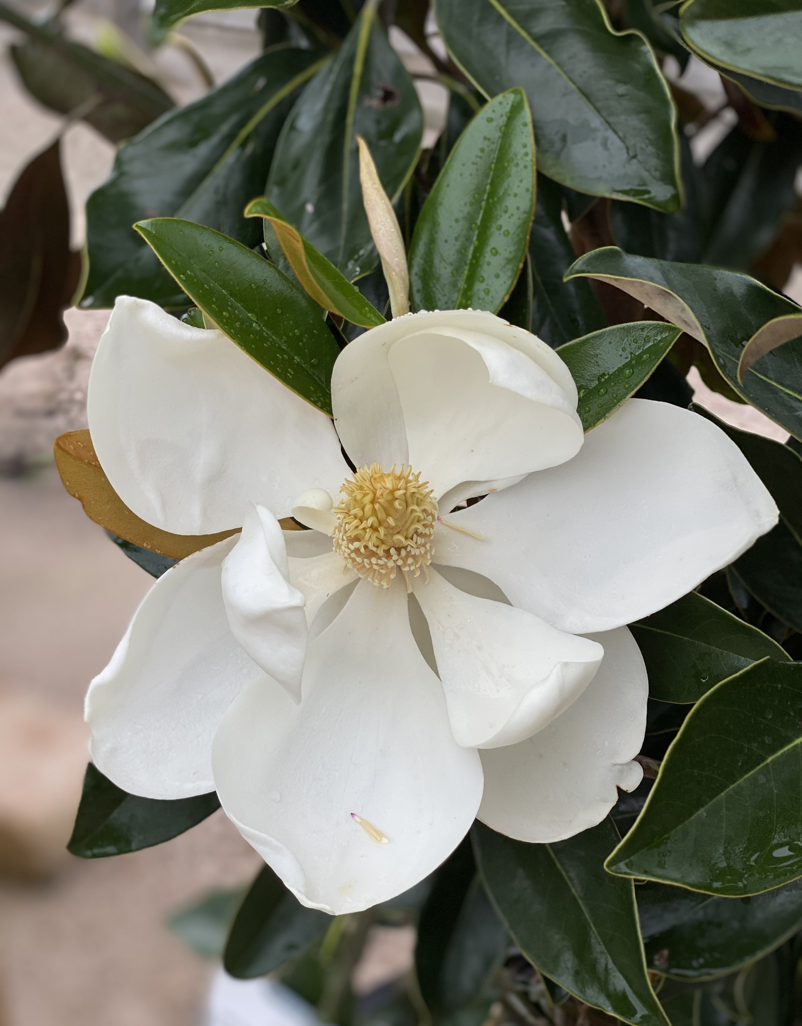 MAGNOLIA, 'LITTLE GEM' 15g