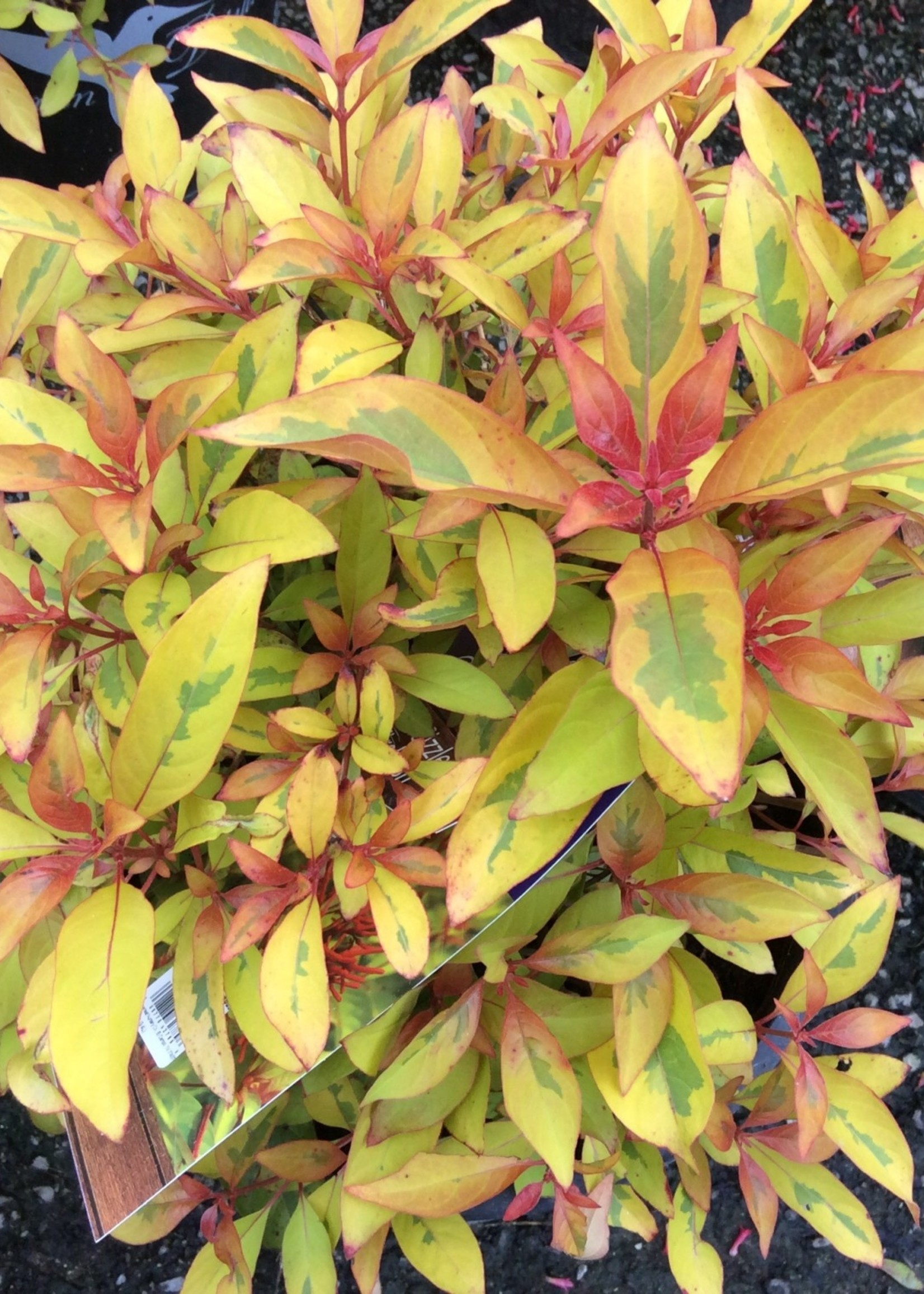 Hummingbird Bush, 'Lime Sizzler' 3G