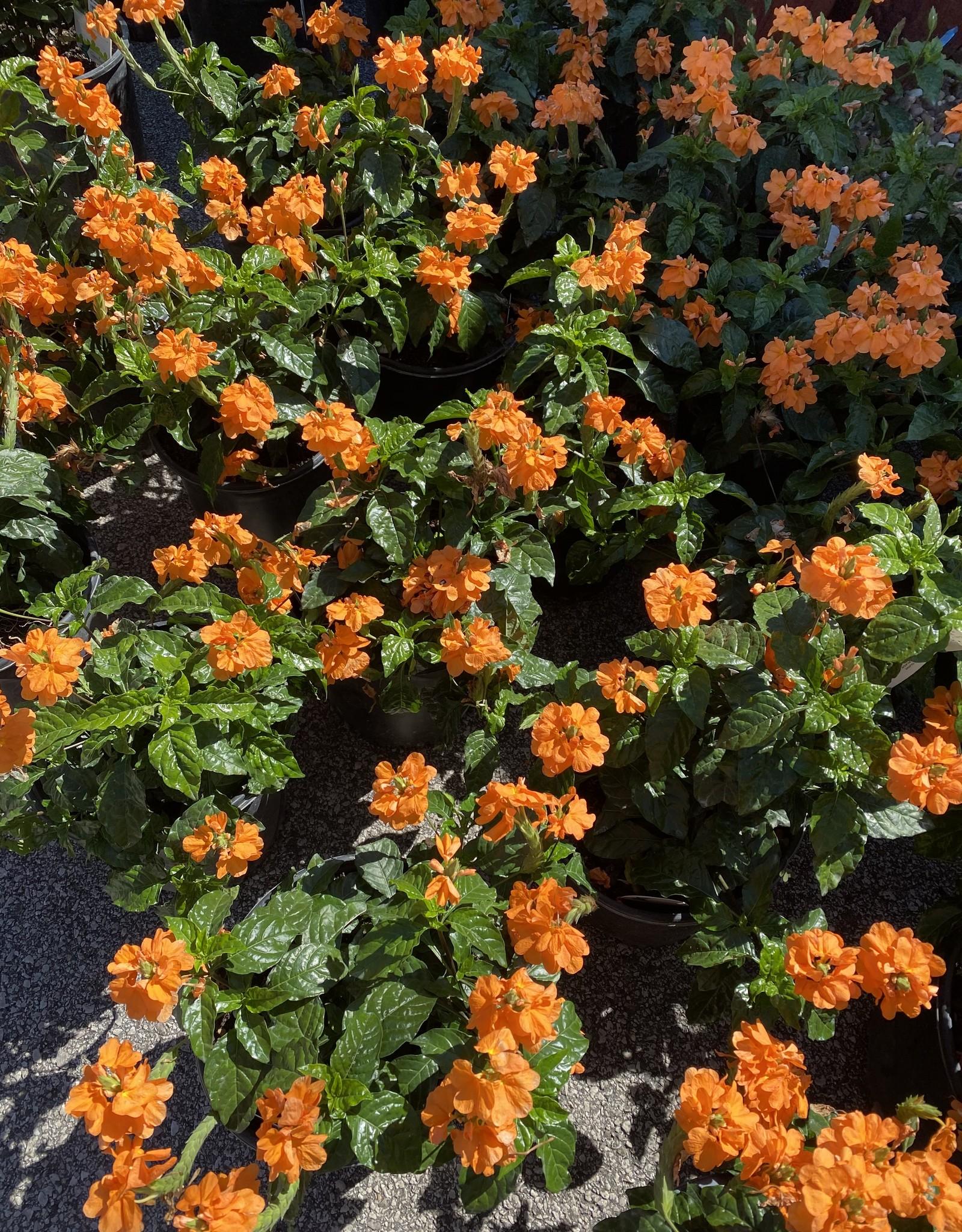 CROSSANDRA, Orange Marmalade 2G $19.95