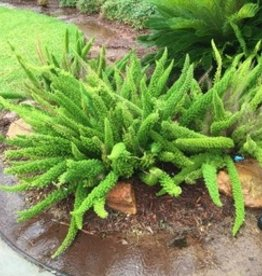 "FERN, FOXTAIL 4"" NOT SOLD ONLINE"