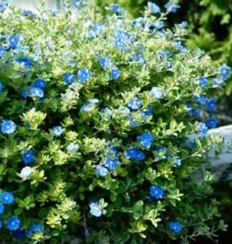 "BLUE DAZE 4"" pot NOT SOLD ONLINE"