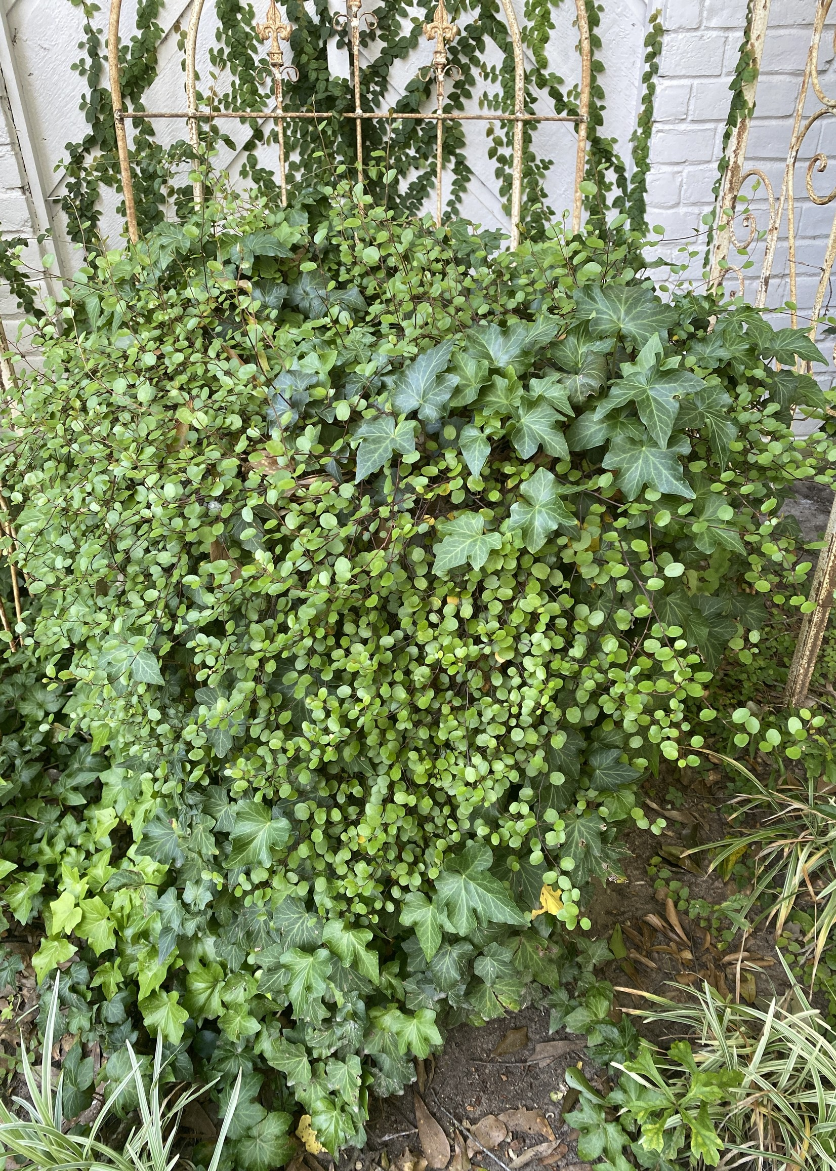"""CREEPING WIRE VINE 4"""" NOT SOLD ONLINE"""