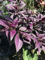 """PERSIAN SHIELD 4"""" NOT SOLD ONLINE"""