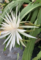 "Night Blooming Cereus WHITE 4.5"" round pot"