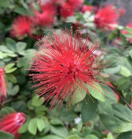 Calliandra Dwarf Red Powder Puff 3G