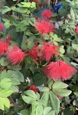 Calliandra, Red Powderpuff 1G