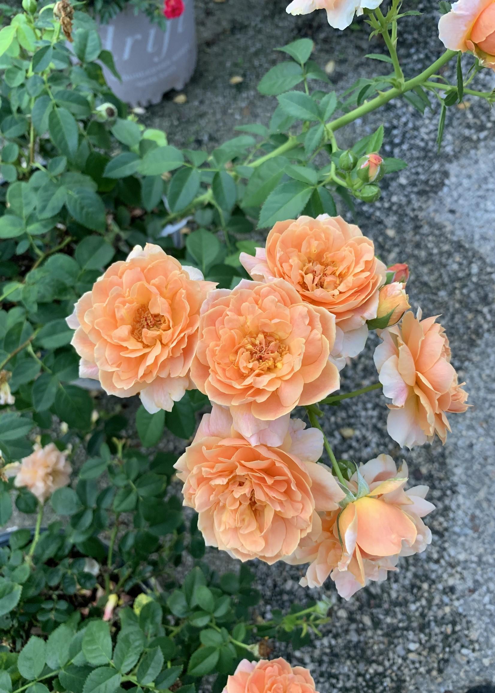 ROSE, 'AT LAST' (orange dbl) 3G