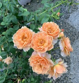 ROSE, 'AT LAST' (orange dbl) 3G