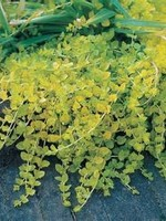 """CREEPING JENNY 4"""" NOT SOLD ONLINE"""