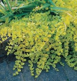 "CREEPING JENNY 4"" NOT SOLD ONLINE"