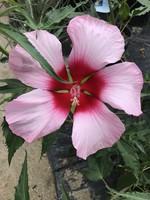 HIBISCUS, PERENNIAL, 'LADY BALTIMORE' (Pink) 3G