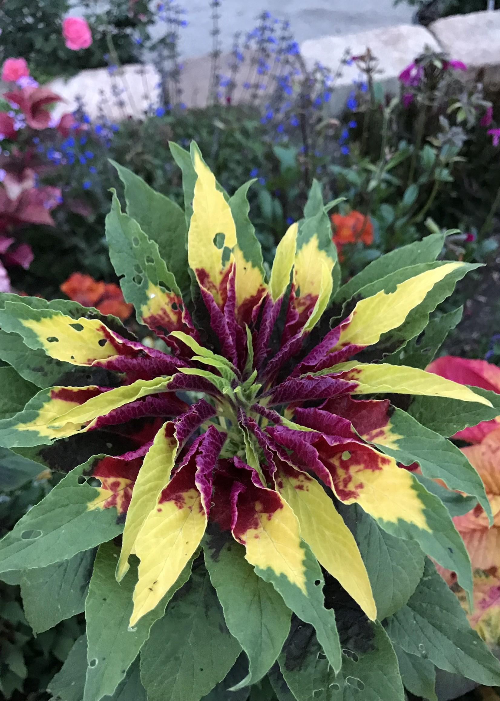 """Amaranthus 4"""" $1.99"""