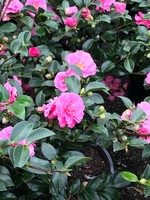 Camellia, Sasanqua, Shishi Gashira 3G Dwarf Pink