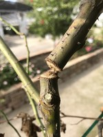 Insect, Twig Girdler