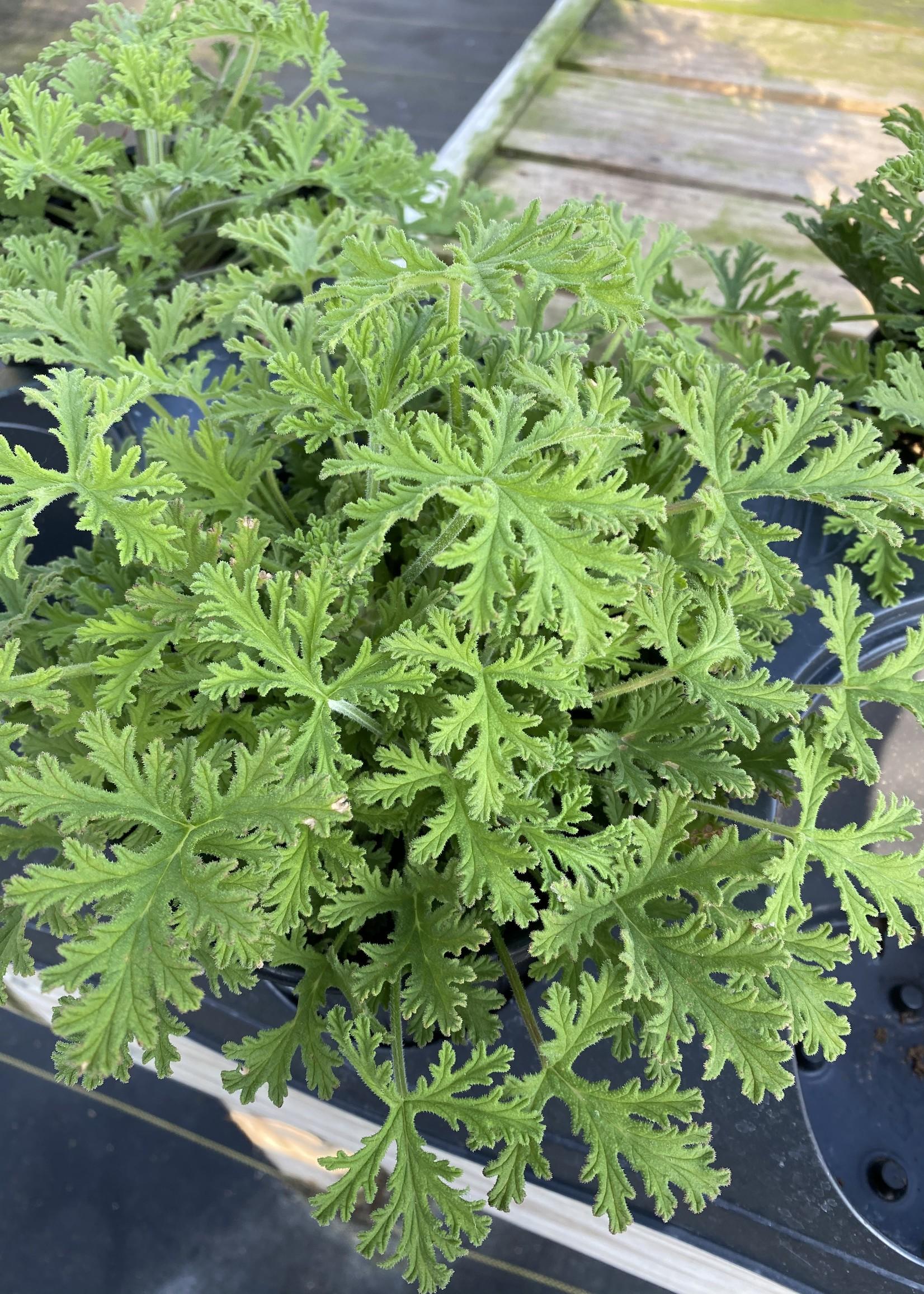 Geranium Citronella, Mosquito Plant 1G