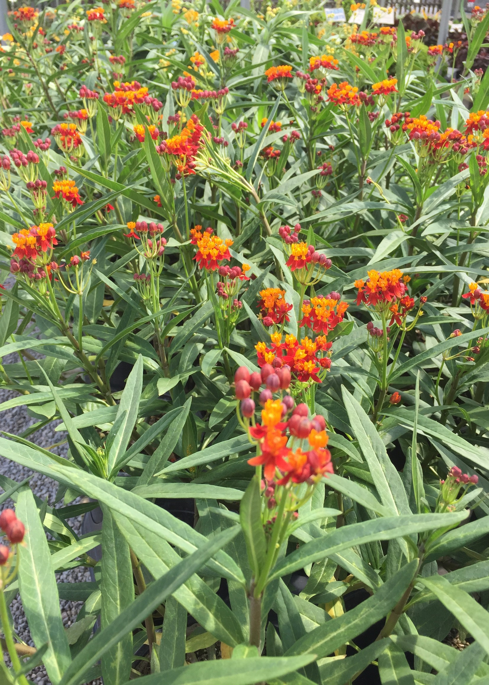 """Asclepia (butterfly weed) 4"""" NOT SOLD ONLINE"""