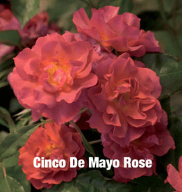 ROSE, 'CINCO DE MAYO' 3G (rusty orange)