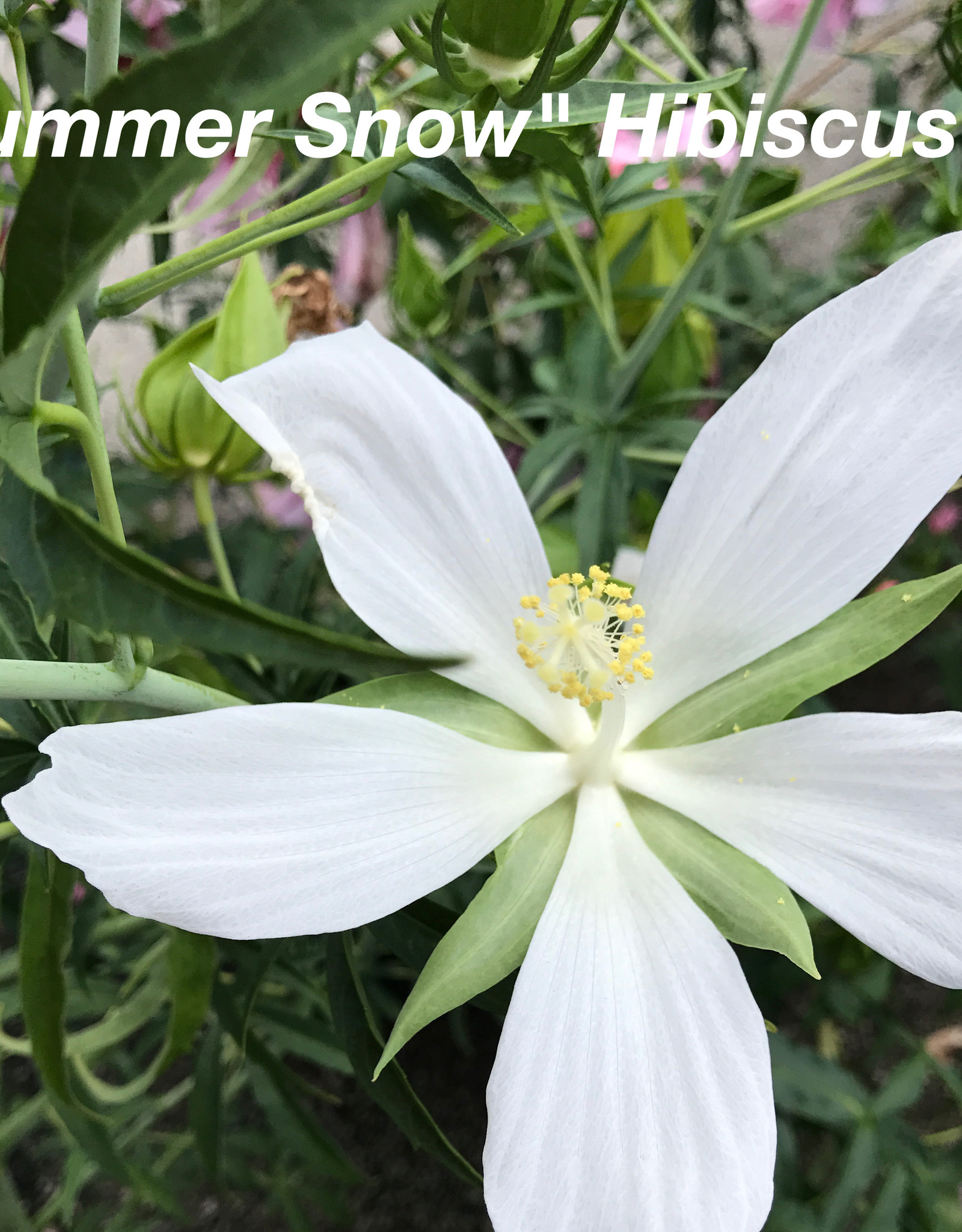 HIBISCUS TEXAS STAR SUMMER SNOW (WHITE)  Perennial 3G