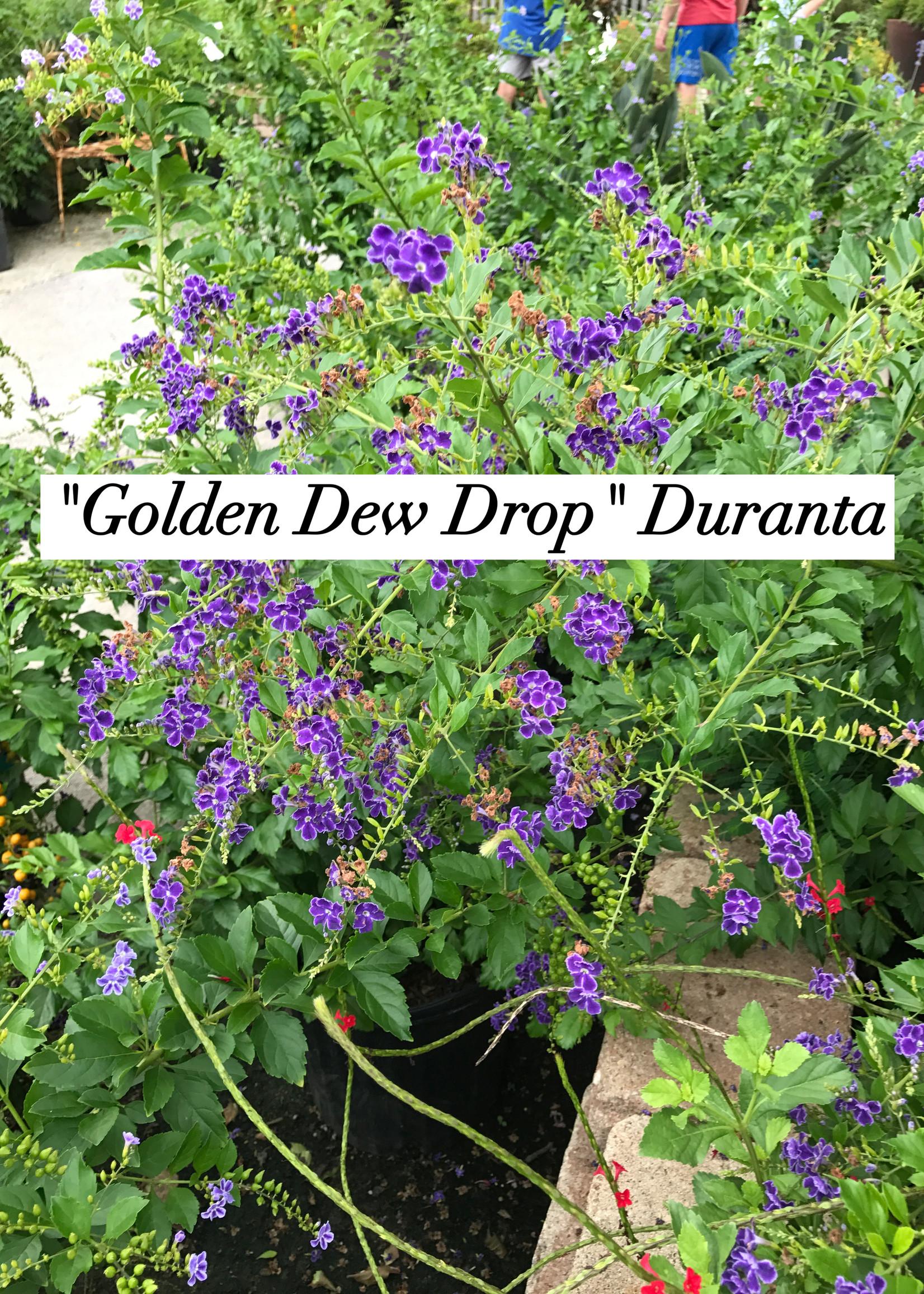 DURANTA, GOLDEN DEW DROP 3G
