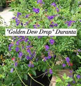 DURANTA, GOLDEN DEW DROP 3G